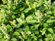 Basil – from aromatic plant to cure plant